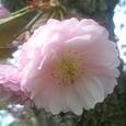 おはようございます〜釧路の桜