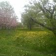 北海道釧路は花満開の春です!