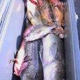 鱈と柳の舞